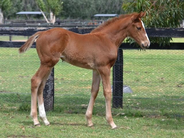 Snitzel x Senator Beck Filly foal shot
